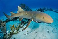 nurse shark, Ginglymostoma cirratum, Bahamas, Atlantic Ocean