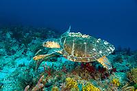 A barnacle covered Loggerhead Sea Turtle Caretta caretta swims along Juno Ledge Palm Beach Florida Atlantic Ocean