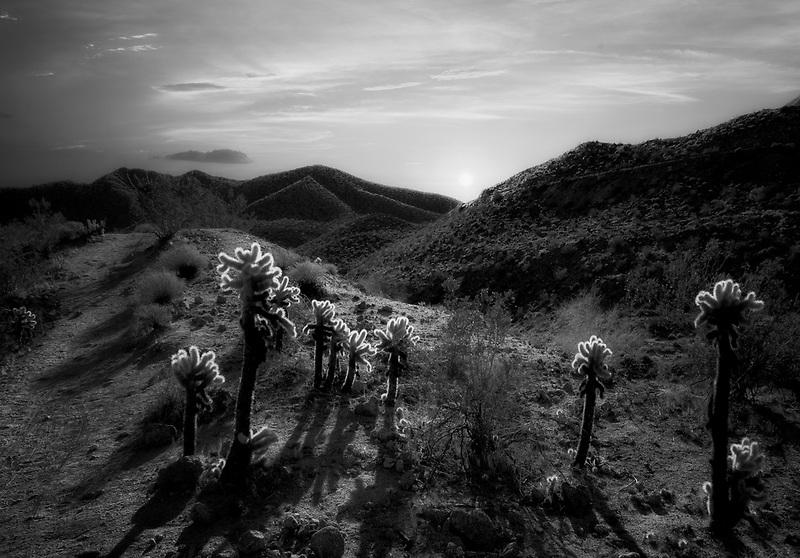 Sunrise on cholla. Ralph Henderson Trail. Palm Springs California
