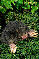 MB05-026b  Star-nosed Mole - at burrow opening - Condylura cristata