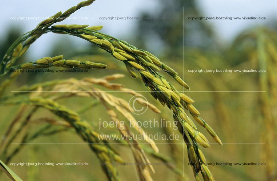 THAILAND, Ubon Ratchathani, fair trade and organic farmer project, PFA Progressive Farmer Association, harvest of organic Jasmine fragrant rice / THAILAND, fairtrade und Bio Projekt, PFA Progressive Farmer Association, Ernte von Jasmin Duftreis