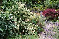 Holodiscus discolor, Ocean Spray or Cream Bush flowering shrub in California Native Plant Garden with Mahonia and Salvia, Schino