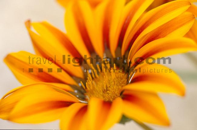 Gazania, Gazanie, Treasureflower, Paphos, Kato Akourdalia, Flower, Cyprus, Zypern