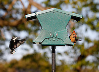Birds take advantage of a free meal from a bird feeder in Albemarle County, VA. Photo/Andrew Shurtleff