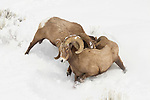 Bighorn Sheep (Ovis canadensis) rams fighting in winter, Lamar Valley, Yellowstone National Park, Wyoming