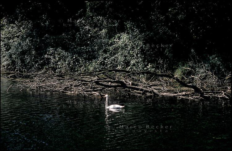 Tornavento frazione di Lonate Pozzolo (Varese). Un cigno nel Naviglio Grande, nel Parco del Ticino --- Tornavento Lonate Pozzolo (Varese). A swan in the Naviglio Grande canal, in the Park of Ticino river