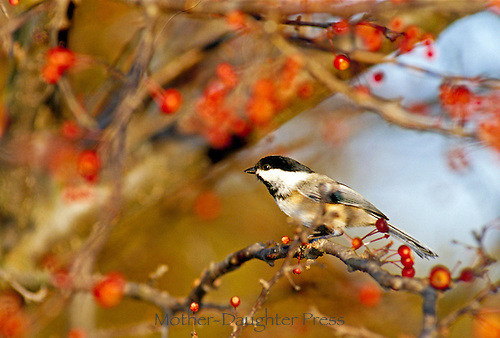 Black capped chickadee, Parus a., perched in crab apple tree, fall, Midwest, USA
