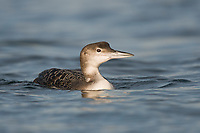Immature Common Loon (Gavia immer) foraging in coastal waters during its first winter. Ocean County, New Jersey. January.