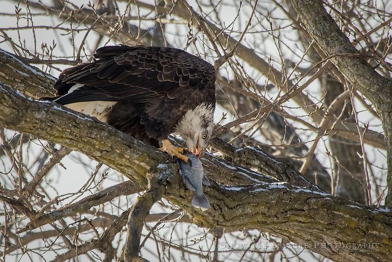 Adult Balde eating a fish