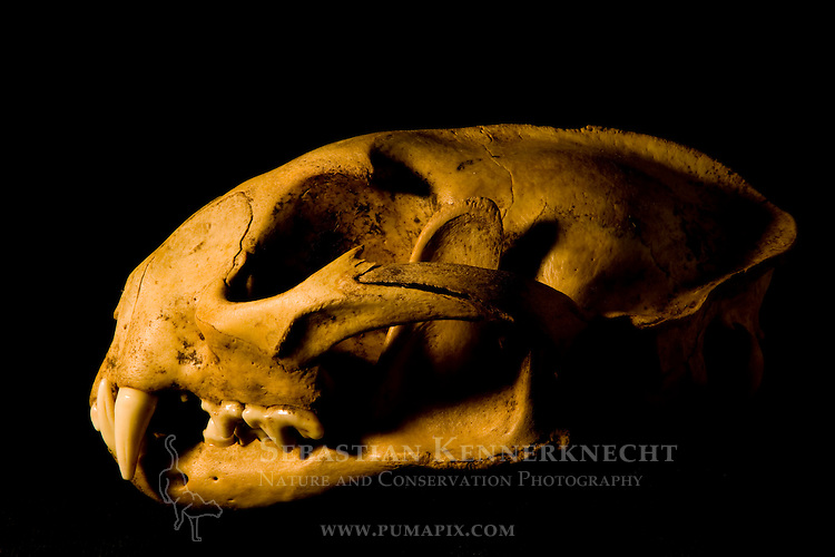 African Golden Cat (Caracal aurata aurata) male skull, Kibale National Park, western Uganda