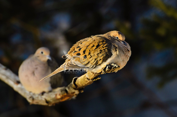 Mourning doves (Zenaida macroura) settle on branch in evening light. Also known as the Turtle dove. One of the most abundant and widespread of all North American birds. Nova Scotia, Canada.