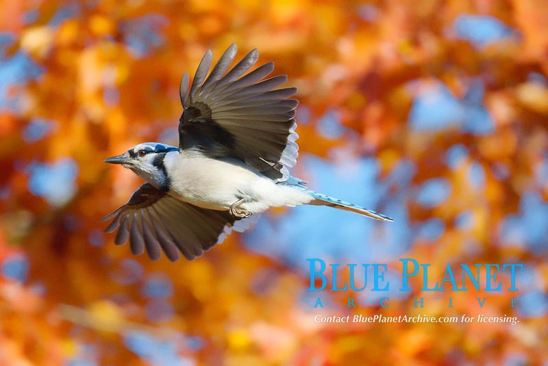Bluejay (Cyanocitta cristata) in flight in autmn, Nova Scotia Canada