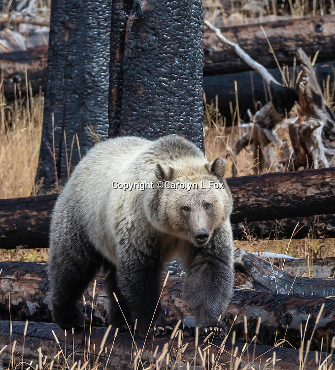 Grizzly bears can sometimes be found in Yellowstone National Park.