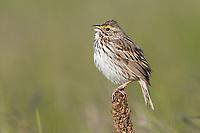 Savannah Sparrow (Passerculus sandwichensis). Oregon. May.