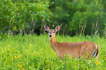 White-tailed doe browsing in a northern Wisconsin meadow.