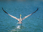Pelican in flight. Wing span.