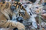 Bengal tigress killing spotted deer kill (Axis axis), early morning, dry season