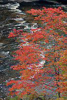 Red maple<br />
