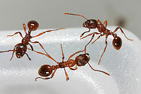 Rote Gartenameise, Rote Knotenameise, Rotgelbe Knotenameise, Myrmica rubra, red myrmicine ant, European fire ant, common red ant