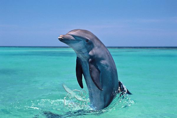Common Bottlenose Dolphin or Bottle-nosed Dolphin (Tursiops truncatus) in Pacific Ocean off Honduras.