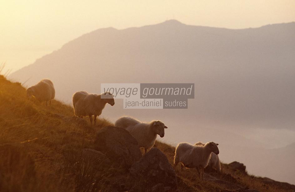 Europe/France/Aquitaine/64/Pyrénées-Atlantiques/Pic de l'Artzamendi: Troupeau de moutons au Pic