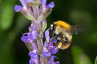 Ackerhummel, Acker-Hummel, Hummel, Blütenbesuch, Weibchen mit Pollenhöschen, Bombus pascuorum, Bombus agrorum, Megabombus pascuorum floralis, common carder bee, carder bee, female, le bourdon des champs