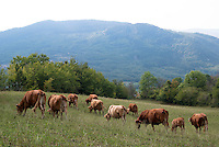 Pozzallo frazione di Romagnese (Pavia). Cooperativa Agricola Canedo: allevamento semibrado di bovini da carne --- Pozzallo Romagnese (Pavia). Canedo Agricultural Cooperative: semi-wild breeding of beef cattle