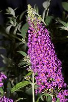 Buddleja Buzz Magenta Buddleia butterfly bush