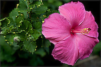 Close-up of single pink Hibiscus facing right, with soft focus background of green leaves