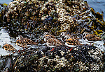 Ruddy turnstones roost on coastal rocks, Unalaska Island, Alaska, USA