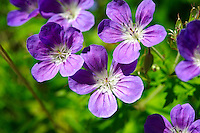 Alpine Wood Cranesbill ( geranium sylvaticum ). Bernese Alps, Switzerland