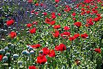 Poppies mingle with lavender at this farm in Sequim, Washington.  Jarden du Soliel Lavender Farm.
