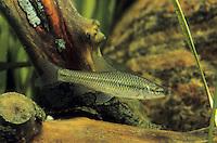 Blauband-Bärbling, Blaubandbärbling, Pseudorasbora parva, Stone moroko, topmouth gudgeon