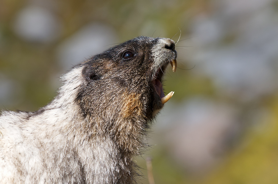 Whistling hoary marmot, Mount Rainier National Park, Washington State, USA