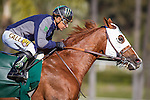 January 2, 2016: California Chrome works before the races in preparation for the San Pasqual Stakes at Santa Anita Park in Arcadia, California. Zoe Metz/ESW/CSM