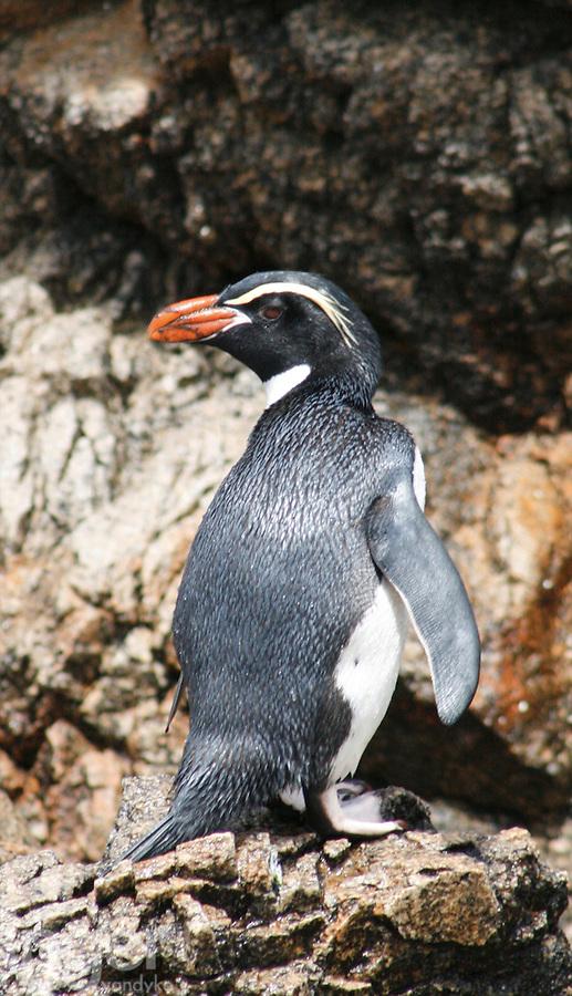 Snares Crested Penguin, Snares Islands, Antarctica