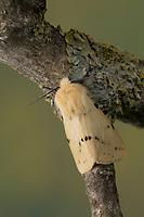 Gelber Fleckleib-Bär, Gelber Fleckleibbär, Gelbe Tigermotte, Spilarctia lutea, Spilarctia luteum, Spilosoma lutea, Spilosoma luteum, Buff Ermine moth, buff ermine, l'Ecaille Lièvre, Bärenspinner, Arctiidae, Arctiinae, erebid moths, erebid moth, woolly bears, woolly worms