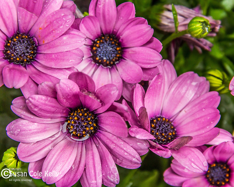African Daisies on the Rose Fitzgerald Kennedy Greenway, Boston, Massachusetts, USA