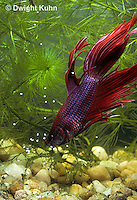 BY05-170z   Siamese Fighting Fish - male catching eggs released by female - Betta splendens