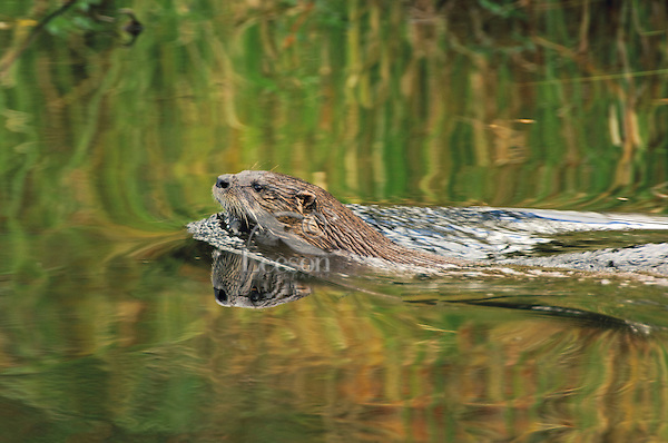 River Otter (Lutra canadensis) casts reflection while swimming through stream, September, Algonquin Provincial Park, northern Ontario, Canada.