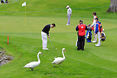 Local bird life during the Pro-Am ahead of the 2016 Dubai Duty Free Irish Open hosted by The Rory Foundation and played at The K-Club, Straffan, Ireland. Picture Stuart Adams, www.golftourimages.com: 18/05/2016