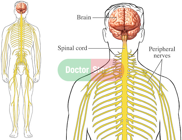 This medical exhibit pictures both an orientation and an enlarged view of the brain, spinal cord and associated peripheral nerves from an anterior (front) view. Labels identify the brain, spinal cord and peripheral nerves.