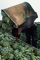 Europe/France/Bretagne/29/Finistère/Saint-Pol-de-Léon : Michel Rivoallon récolte ses artichauts [Autorisation : 318]