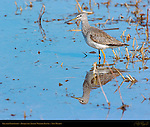 Greater Yellowlegs, Bosque del Apache Wildlife Refuge, New Mexico