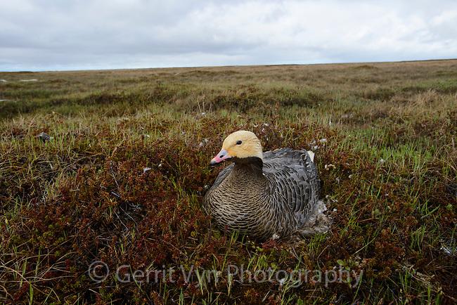 Female Emperor Goose (Chen canagica) sitting on its egss on eggs. Yukon Delta, Alaska. June.