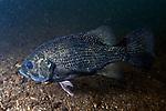 Rock Bass, Lake Sunapee, NH