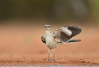 Northern Mockingbird (Mimus polyglottos), immature waving wing, Rio Grande Valley, South Texas, Texas, USA