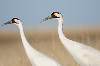 Adult Whooping Cranes during spring migration (Grus americana). South Dakota. April.
