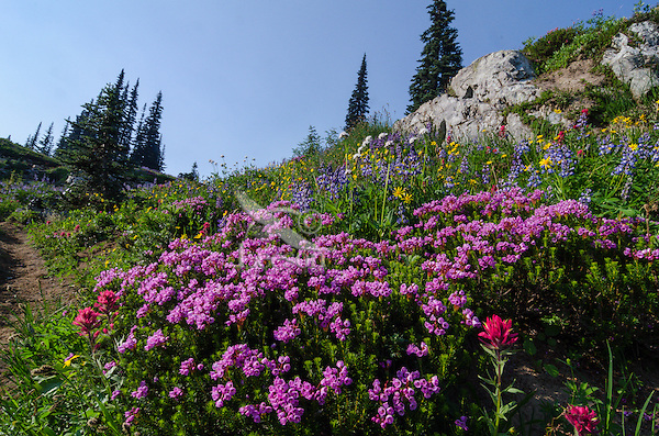 Pink Mountain Heather (Phyllodoce empetriformis) plus other wildflowers--lupine, arnica and paintbrush.   Along Cascade Crest Trail or Pacific Crest Trail, Central Cascade Mountain Range,  WA.  Simmer.