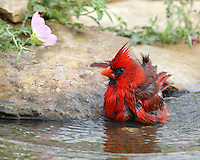 The Northern Cardinal is a fairly large, long-tailed songbird with a short, very thick bill and a prominent crest. The flower is wild Primrose.